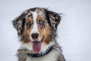 Hund smiler og har et blå øje