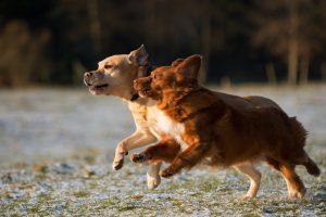2 hunde løber sammen og glad