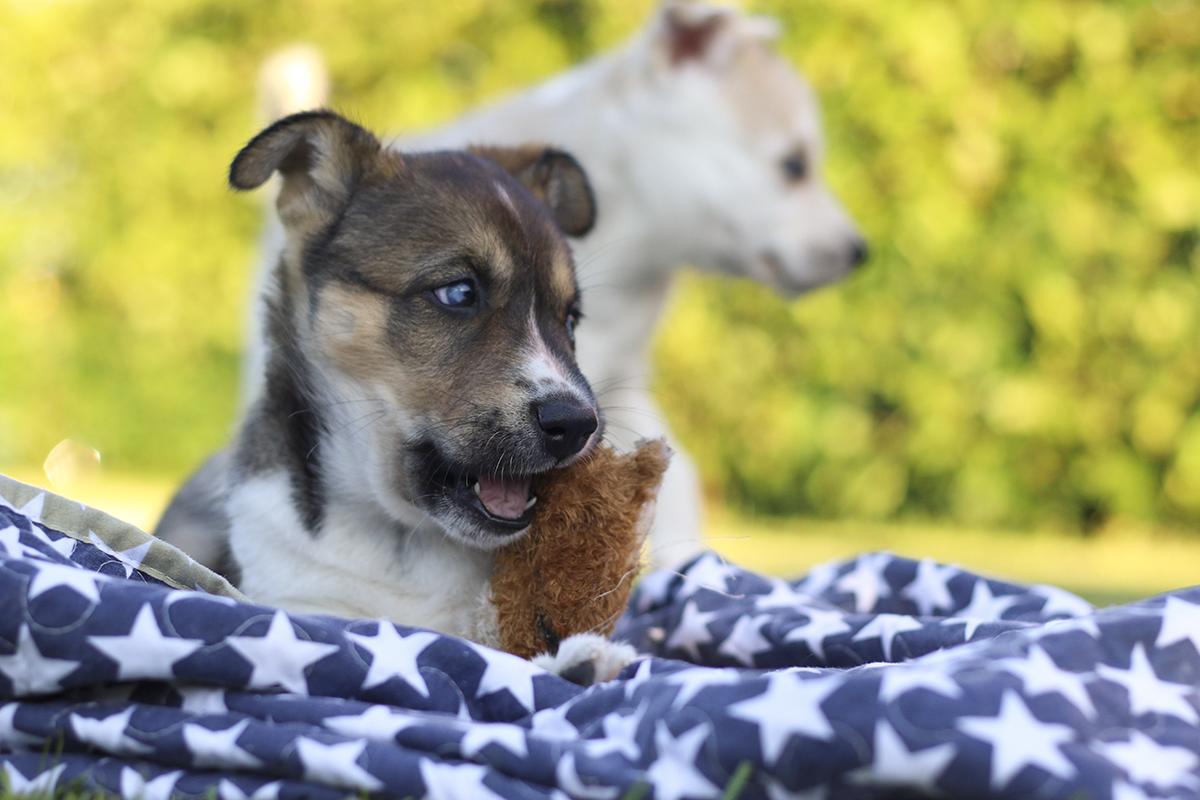 Siberian Husky hvalp leger med sit legetøj